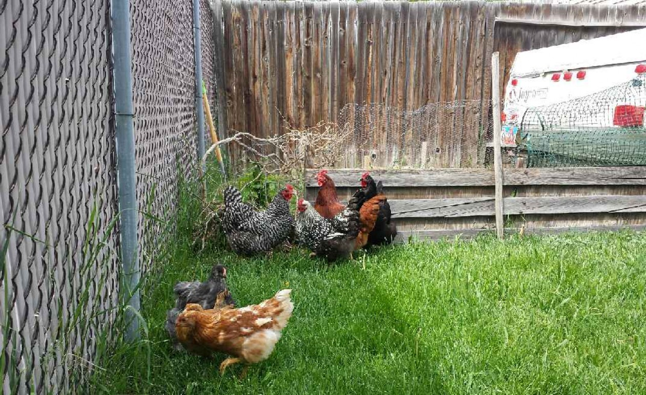 backyard chickens, integrating chickens