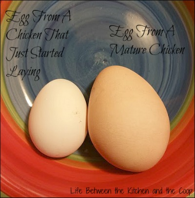 backyard chickens, organic eggs