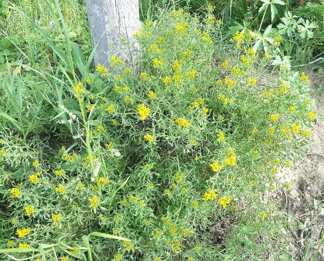 Gooseberry Reservoir flowers