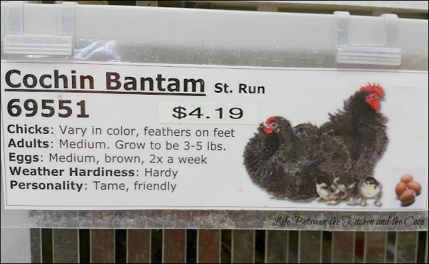urban farming, backyard chickens, baby chicks, chicken flock