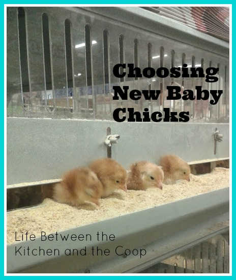 baby chicks, urban chickens, backyard chickens