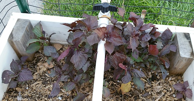 harvest red shiso japanese basil