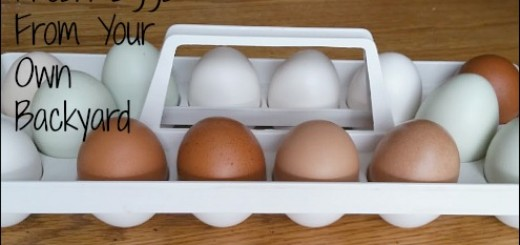 backyard chickens, eggs, emergency preparedness, organic eggs