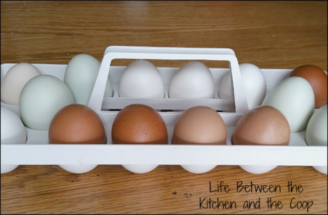 backyard chicken eggs, organic eggs, emergency preparedness