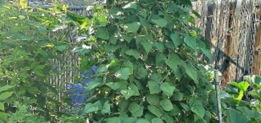 garden trellis plants