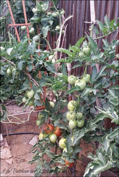 garden, gardening, canning, can tomatoes