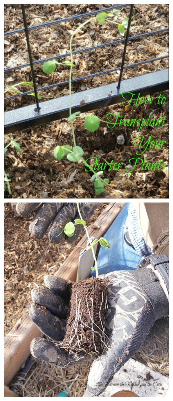 plant starter plants